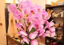 きこりの店の胡蝶蘭元気に咲いております。