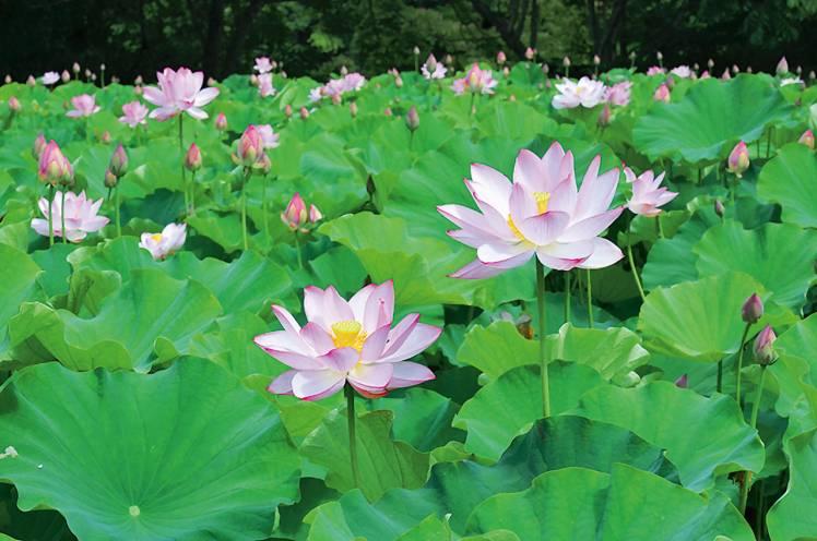 伊南恥風の蓮の花